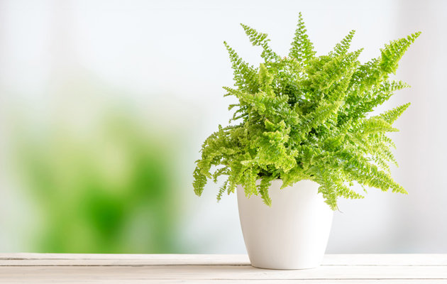 Ilmaa puhdistavat ei-myrkylliset kasvit: saniainen