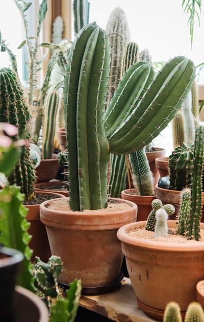 kaktukset ovat tällä hetkellä trendikkäitä viherkasveja.